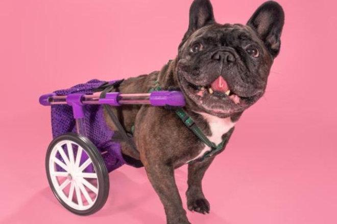Figo la silla de ruedas para perros que cualquiera puede for Sillas para perros