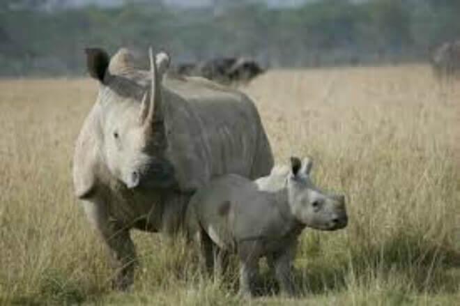 Suspenden uso de drones para detener la matanza de rinocerontes en Sudáfrica