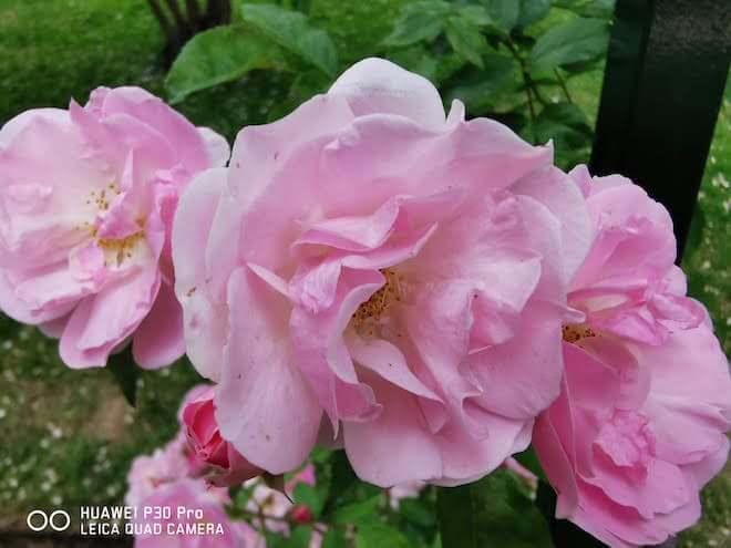 Fotografía de flores e insecto en modo super macro con el Huawei P30 Pro